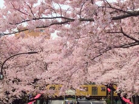 西武新宿線と中野通りの桜