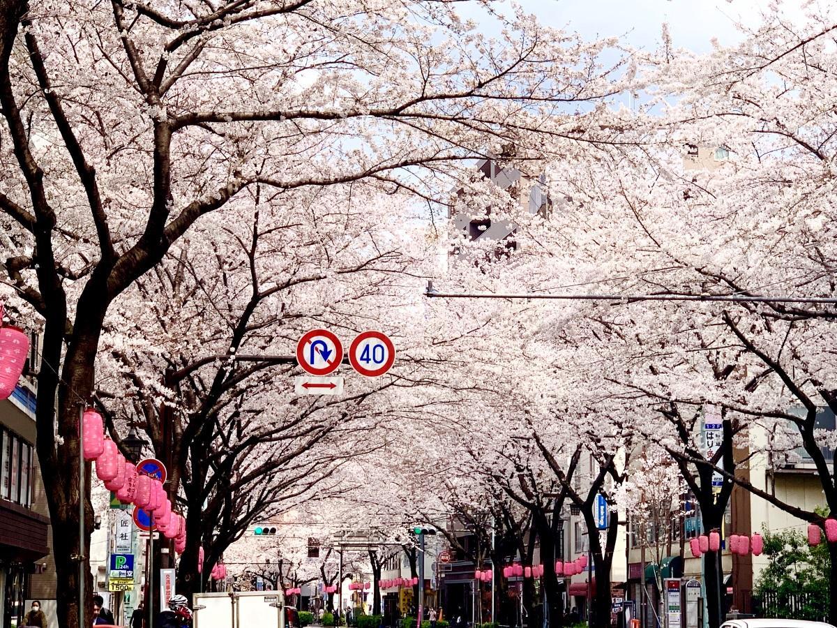 中野通りの「桜のトンネル」(3月28日撮影)