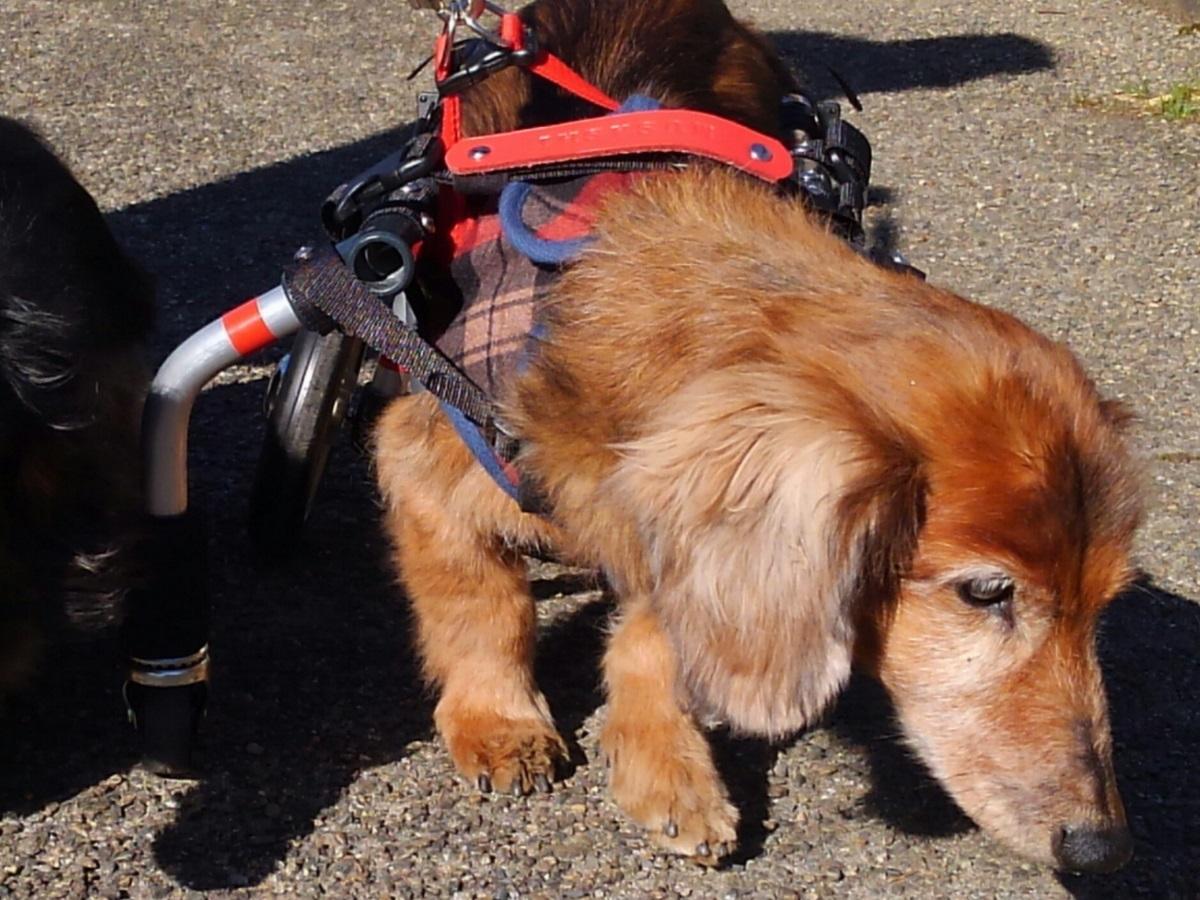 一昨年前、17歳6カ月で亡くなったp.a.n.d.a.研究室岩浪代表の飼い犬の生前の様子