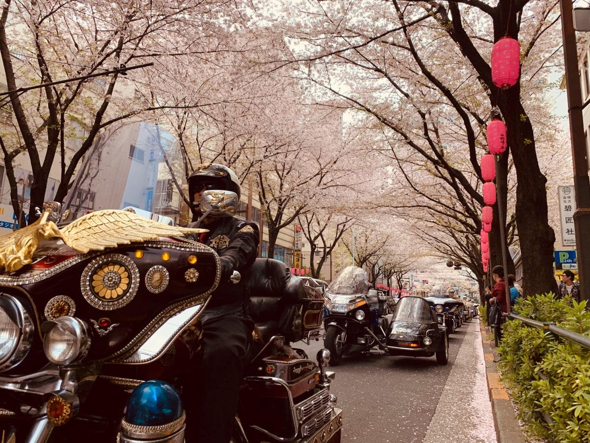 PV1位から、桜のトンネル「予想外の満開」でハーレーパレード