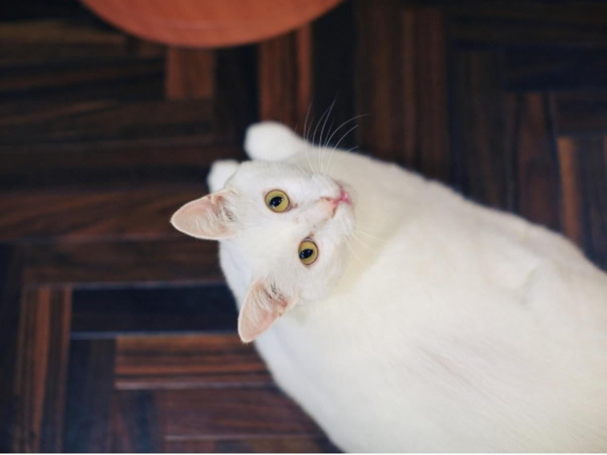 保護猫カフェ「ネコリパブリック中野店」の猫