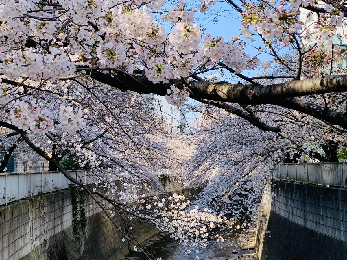 小滝橋から南側の神田川を臨む(3月24日撮影)