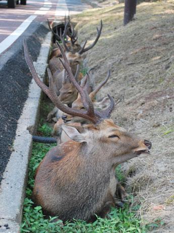 シカが日陰を求めて道路の側溝に一列に並び木陰で休憩(12時ごろ撮影)