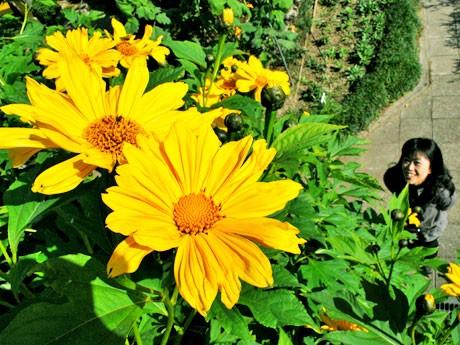空に向かって色鮮やかな花を咲かせる皇帝ヒマワリ
