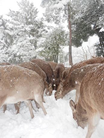 雪に埋もれた木の実を食べる鹿