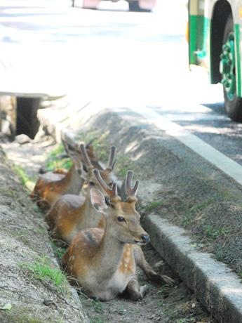 猛暑で今年も奈良に溝鹿(2014年7月26日13時ごろ撮影)