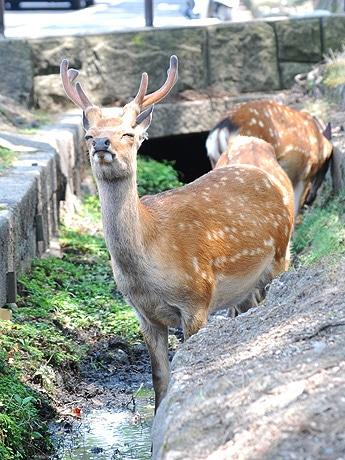 奈良で今年一番の暑さ 猛暑で鹿もぐったり