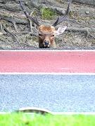 奈良・道路に鹿の顔並ぶ 側溝に入って首だけヒョコッと