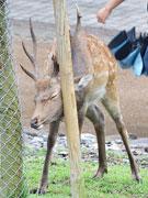 奈良にも秋の気配 発情期で気性が荒い雄鹿には近寄らないで