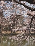 練馬区内の桜が見頃に 週末の花見は雨予報に