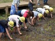 光が丘の水田で児童が田植え体験 120キロの収穫目指す