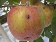 練馬で「雹がいリンゴ」販売へ 上田市のリンゴ農家支援