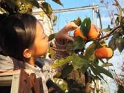 練馬で秋の摘み取り園開園 キウイフルーツ、カキを摘み取り