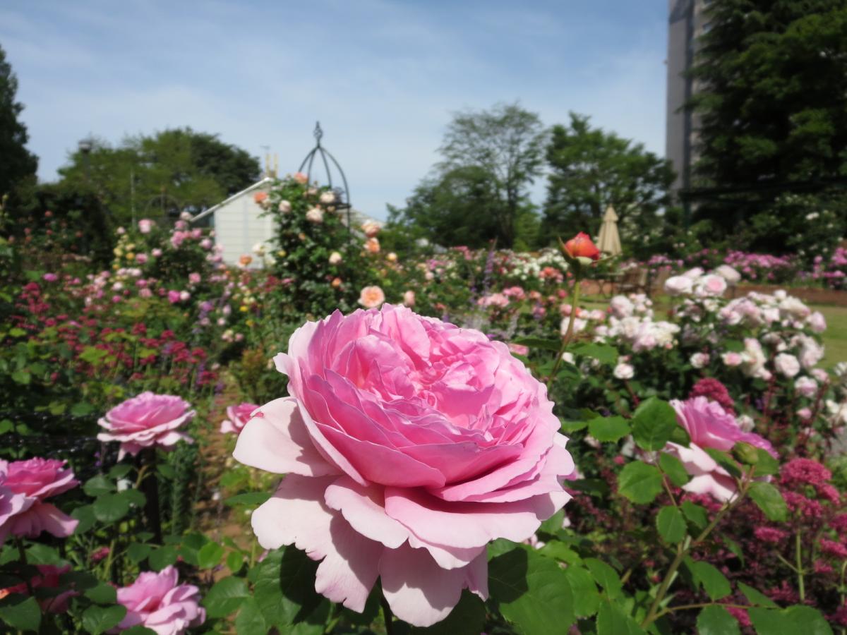 ローズガーデンに咲くバラ