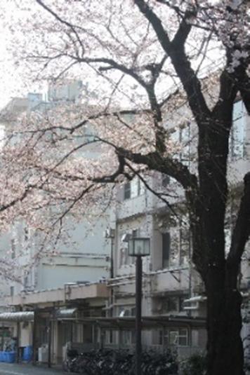 現校舎と桜の様子