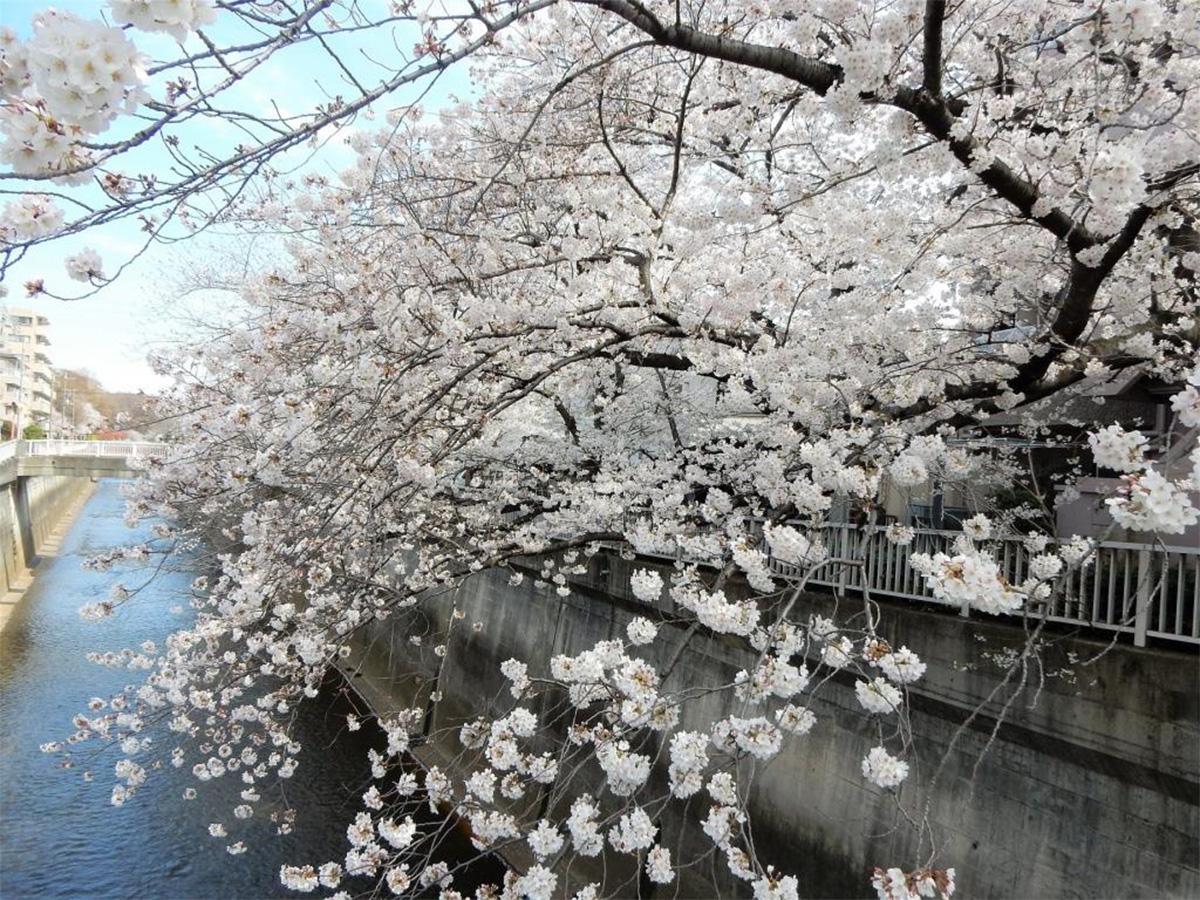 石神井川沿いの桜