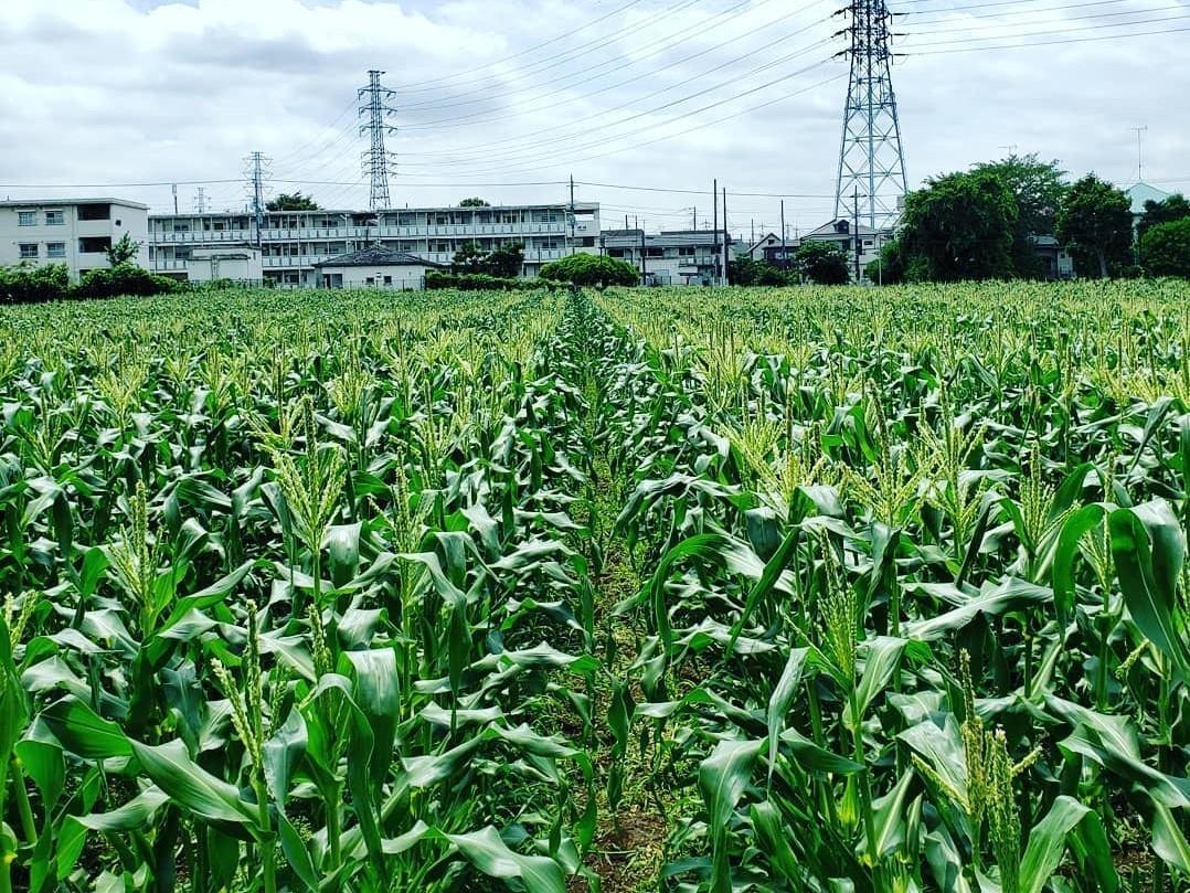 トウモロコシ畑の様子