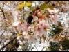 東大泉・牧野記念庭園のセンダイヤザクラ見頃 牧野博士が命名