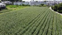 練馬、東大泉に「トウモロコシ迷路」 収穫体験も