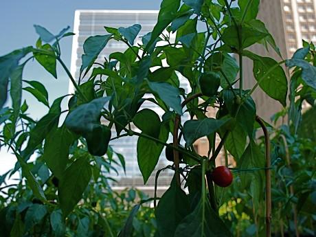 マンハッタン・摩天楼の中心地で、100種類以上の野菜やハーブ、花など6000株が植えられている、都市農園「River Park Farm」。