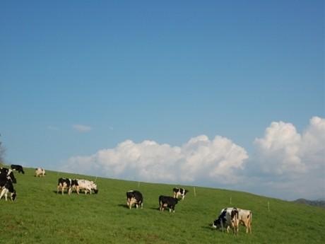 北海道砂川市の牧場の様子。約200頭飼育し、そのうち80頭からミルクを絞る。