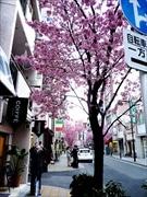 日本橋室町で早咲きのオカメザクラ満開-「桜フェスティバル」に彩り添える
