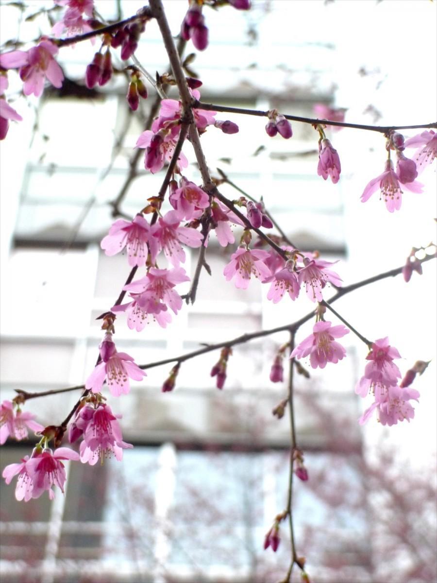 先週土曜日に一輪咲き、ここ数日の陽気で一気に花開いたあじさい通りのオカメザクラ