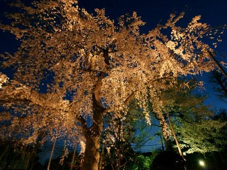 世田谷・大蔵の妙法寺の樹齢70年しだれ桜が満開-ライトアップも