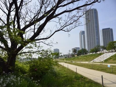 「多摩川マタニティウォーキング」コースの「岸辺の散策路」(二子玉川公園前、4月28日)