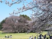 世田谷・砧公園で桜開花 見頃のピーク間もなく
