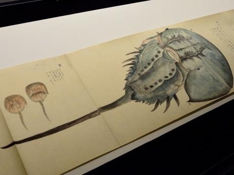 カブトガニが描かれた「蟹譜七十五品図」
