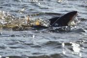 早春の多摩川で在来魚「マルタウグイ」の産卵環境づくり 「水辺ごはん会」も