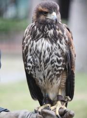 タカVSハト・カラス-西宮で鷹匠が鳥害対策