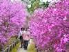 西宮・広田山公園のツツジ満開 2万本が色鮮やかに