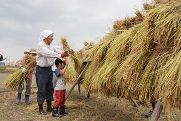 10月に稲刈りをし天日乾燥(ハゼ掛け)した新米