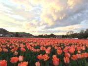 羽村市で「チューリップまつり」 水田埋め尽くす40万本のチューリップ