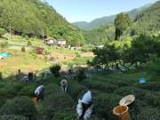 檜原村で茶摘み体験と紅茶工房見学ツアー 村の文化や自然の魅力伝える
