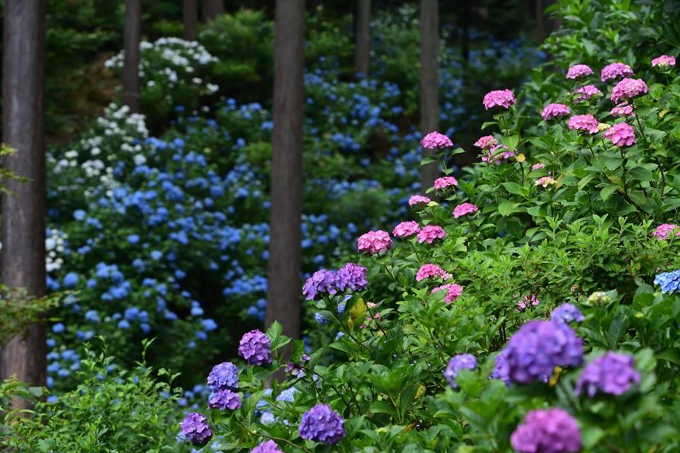 南沢あじさい山の開花シーズンの模様
