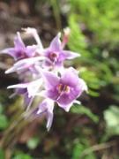 ロックガーデンの岩場に咲くイワタバコ