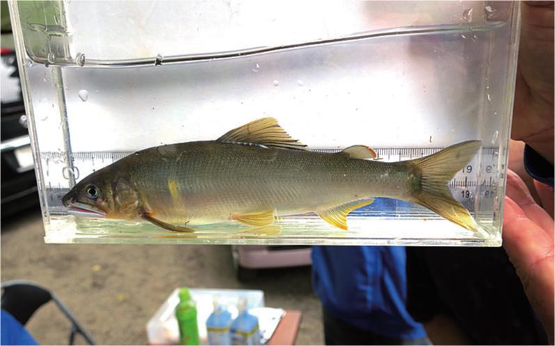 秋川漁協が試し釣りて?釣ったアユ。ほと?よい大きさに育っている。