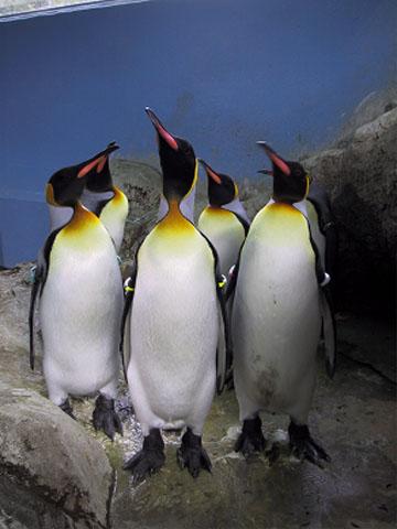 名前の決定を首を長くして待つキングペンギン達