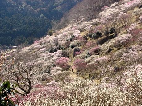 幕山の山麓斜面に咲きほこる梅