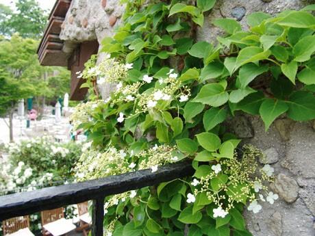 珍しい「ツルアジサイ」は水車小屋とカフェ・レストランの壁に開花