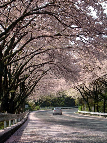 桜のトンネルを抜けていざ箱根へ(画像は満開時のもの)