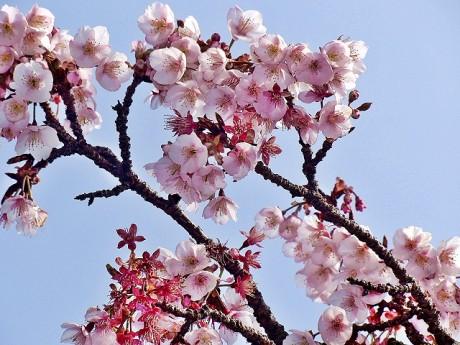 大寒を過ぎて春の訪れを予感させるカンザクラ
