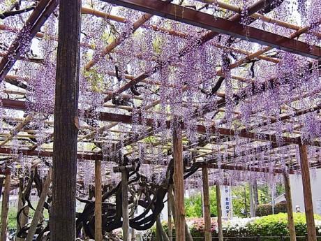 小田原城、御茶壷橋の側に咲く藤の古木(5月2日撮影)