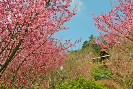 3月23日頃に見頃を迎える小田原・根府川「離れのやど星ヶ山」のおかめ桜