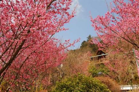 満開のおかめ桜で一面ピンクに