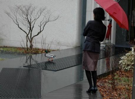 箱根ラリック美術館を訪れたマガモ
