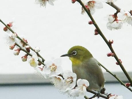 徳富蘇峰記念館・梅の開花とメジロ